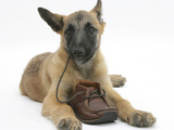 Belgian Shepherd Dog Puppy, Antar, 10 Weeks, Chewing a Child's Shoe Photographic Print by Mark Taylor