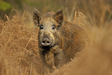 Wild Boar (Sus Scrofa) Female in Woodland Undergrowth, Forest of Dean, Gloucestershire, UK, March Photographic Print by Andy Rouse