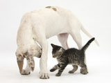 Tabby Kitten, Fosset, 10 Weeks, with Great Dane Puppy, Tia, 14 Weeks Photographic Print by Mark Taylor