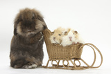 Lionhead-Cross Rabbit Pushing Two Young Guinea Pigs in a Wicker Toy Sledge Fotografisk tryk af Mark Taylor