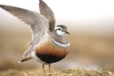 Male Eurasian Dotterel (Charadrius Morinellus) Displaying with Wings Raised, Grampian Mountains, UK Photographic Print by Mark Hamblin
