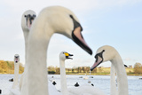 Whooper Swan (Cygnus Cygnus) Caling Behind Mute Swans (Cygnus Olor) on a Urban Loch. Scotland Photographic Print by Fergus Gill