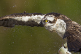 Osprey (Pandion Haliaetus) Fishing, Cairngorms National Park, Scotland, UK, July Photographic Print by Peter Cairns