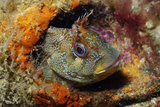 Tompot Blenny (Parablennius Gattorugine), Swanage, Dorset, England, UK, May Photographic Print by Linda Pitkin