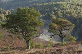 Scots Pines (Pinus Sylvestris) on Moorland. Abernethy Nnr, Cairngorms Np, Scotland, UK Photographic Print by Mark Hamblin