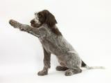Brown Roan Italian Spinone Puppy, Riley, 13 Weeks, Holding a Paw Out Photographic Print by Mark Taylor