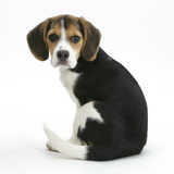 Beagle Puppy, Florrie, 4 Months, Sitting, Looking over Her Shoulder Photographic Print by Mark Taylor