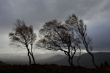Windswept Silver Birch Trees (Betula Pendula) Silhouetted, Cairngorms Np, Scotland, UK, November Photographic Print by Mark Hamblin