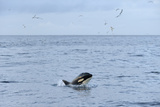 Killer Whale (Orcinus Orca) Near Shetland Isles, Scotland, UK Photographic Print by Chris Gomersall