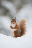 Red Squirrel (Sciurus Vulgaris) Adult in Snow, Cairngorms National Park, Scotland, February Reprodukcja zdjęcia autor Mark Hamblin