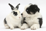 Tricolour Border Collie Puppy Basil, 8 Weeks, with Black and White Rabbit Photographic Print by Mark Taylor
