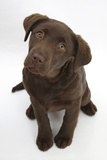 Chocolate Labrador Puppy, 3 Months, Looking Up into the Camera Photographic Print by Mark Taylor