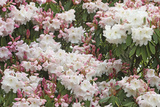 Rhododendron Flowers. Winkworth Arboretum, Surrey, UK, May Photographic Print by Mark Taylor