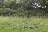 Badger (Meles Meles) Family Feeding in Long Grass Near to their Sett, Dorset, England, UK, July Photographic Print by Bertie Gregory