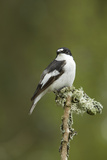 Pied Flycatcher (Ficedula Hypoleuca) Male. Wales, UK, February Reproduction photographique par Mark Hamblin
