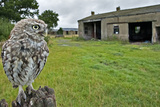 Little Owl (Athene Noctua) Perched on Post with its Nesting Barn in Background. Wales, UK, August Photographic Print by Andy Rouse