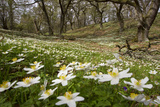 Wood Anemones (Anemone Nemorosa) Growing in Profusion on Woodland Floor, Scotland, UK, May 2010 Stampa fotografica di Mark Hamblin