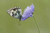Marbled White Butterfly (Melanagria Galathea) Resting on Small Scabious Flower, Dorset, UK Photographic Print by Guy Edwardes