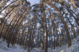 Fish-Eye Image of Scot's Pine Trees (Pinus Sylvestris) in Forest, Abernethy Forest, Scotland, UK Photographic Print by Mark Hamblin