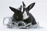 Two Black-And-White Baby Dutch X Lionhead Rabbits with Silver Christmas Tinsel Reproduction photographique par Mark Taylor