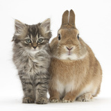 Tabby Kitten, 10 Weeks, with Sandy Netherland-Cross Rabbit Photographic Print by Mark Taylor