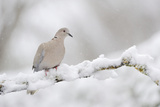 Collared Dove (Streptopelia Decaocto) Perched on a Snow Covered Branch, Perthshire, Scotland, UK Photographic Print by Fergus Gill