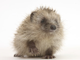 Baby Hedgehog (Erinaceus Europaeus) Portrait, Holding One Paw Aloft Photographic Print by Mark Taylor