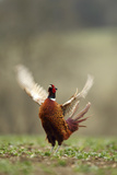 Male Pheasant (Phasianus Colchicus) Displaying, Hertfordshire, England, UK Papier Photo par Luke Massey