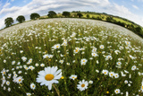 Wildflower Meadow with Ox-Eye Daisy (Leucanthemum Vulgare), Hardington Moor, Somerset, UK Photographic Print by Guy Edwardes
