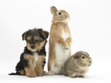 Yorkshire Terrier-Cross Puppy, 8 Weeks, with Guinea Pig and Sandy Netherland Dwarf-Cross Rabbit Photographic Print by Mark Taylor