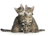 Tabby Kittens, Stanley and Fosset, 3 Months Old, Sitting and Snuggling Together Photographic Print by Mark Taylor