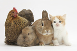 Partridge Pekin Bantam with Kitten, Sandy Netherland Dwarf-Cross and Baby Lionhead-Cross Rabbit Photographie par Mark Taylor