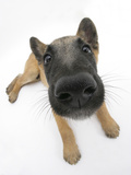 Belgian Shepherd Dog Puppy, Antar, 10 Weeks, Lying with Head Raised Photographic Print by Mark Taylor
