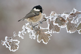 Coal Tit (Periparus Ater) Adult Perched in Winter, Scotland, UK, December Papier Photo par Mark Hamblin