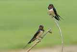 Two Barn Swallows (Hirundo Rustica), Hertfordshire, England, UK, May Photographie par Chris Gomersall