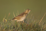 Meadow Pipit (Anthus Pratensis) on Ground in Rough Grassland, Scotland, UK, May 2010 Photographic Print by Mark Hamblin