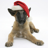 Belgian Shepherd Dog Puppy, Antar, 10 Weeks, Wearing a Father Christmas Hat Photographic Print by Mark Taylor