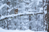 Red Squirrel on Snow-Covered Branch, Glenfeshie Estate, Cairngorms Np, Highlands, Scotland, UK Photographic Print by Peter Cairns