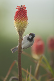 Male House Sparrow Perched on a Red Hot Poker Stalk, Pembrokeshire Coast Np, Wales, UK Photographie par Mark Hamblin