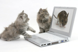 Two Maine Coon Kittens Looking at an Image of a Mouse on a Laptop Computer Lámina fotográfica por Mark Taylor