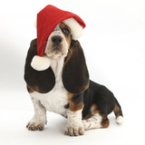 Basset Hound Puppy, Betty, 9 Weeks, Sitting, Wearing a Father Christmas Hat Photographic Print by Mark Taylor