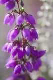 Close-Up of Flowering Bell Heather (Erica Cinerea), Caesar's Camp, Fleet, Hampshire, England, UK Fotografisk tryk af Paul Harris
