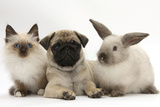 Fawn Pug Puppy, 8 Weeks, with Birman X Ragdoll Kitten and Young Sooty Colourpoint Rabbit Reproduction photographique par Mark Taylor