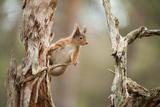 Red Squirrel (Sciurus Vulgaris) on Old Pine Stump in Woodland, Scotland, UK, November Fotografisk trykk av Mark Hamblin