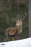 Red Deer (Cervus Elaphus) Stag in Pine Woodland in Winter, Cairngorms National Park, Scotland, UK Photographic Print by Mark Hamblin