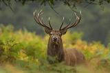 Red Deer (Cervus Elaphus) Dominant Stag Amongst Bracken, Bradgate Park, Leicestershire, England, UK Fotografisk tryk af Danny Green