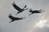 Three Common Cranes (Grus Grus) in Flight, Brandenburg, Germany, October 2008 Photographic Print by Florian Möllers