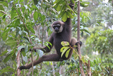 Bornean White-Bearded or Agile Gibbon, (Hylobates Albibarbis) in Tree, South West Borneo Photographic Print by Mark Taylor