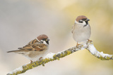 Two Tree Sparrows (Passer Montanus) Perched on a Snow Covered Branch, Perthshire, Scotland, UK Reproduction photographique par Fergus Gill