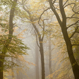 Beech Trees (Fagus Sylvatica) in Autumn Mist, Beacon Hill Country Park, the National Forest, UK Photographic Print by Ross Hoddinott